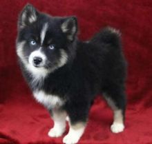 Pretty male and female Pomsky Puppies