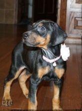Stunning Doberman Pinscher puppies just 10weeks old.