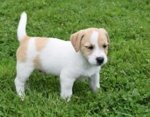 For Adoption: Jack Russell Puppies,Ckc Reg.