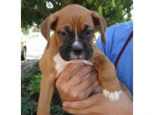registered Boxer puppies available