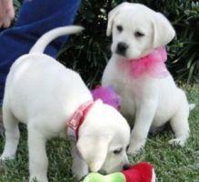 Healthy Labrador Retriever puppies for sale