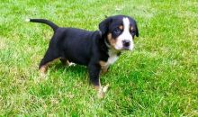 100% Greater Swiss Mountain Dog puppies