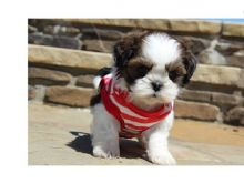Adorable 12 weeks old Shih Tzu male and female are looking for good home