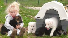German Shepherd puppies for adoption.