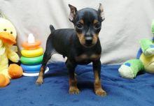 Miniature Pinscher puppies available