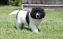 Newfoundland Puppies with loving temperament.
