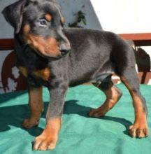 Registered Doberman Pinscher Puppies for adoption.