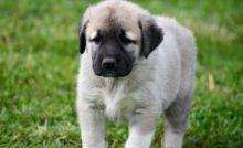 Anatolian shepherd puppies free of genetic effects