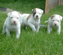 Awesome American Bulldog Puppies For Sale.