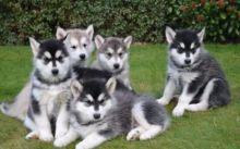 Alaskan Malamute puppies for sale