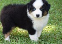 Australian Shepherd puppies available.