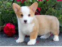 Pembroke Welsh Corgi Puppies! CKC Registered.