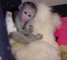 Adorable Hand Raised Male and Female Capuchin Monkeys