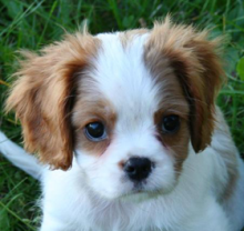 healthy Cavapoo puppies