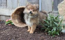 Pomeranian Puppies for Sale Text (929) 274-0226