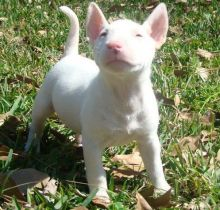 Healthy Bull Terrier Puppy for sale