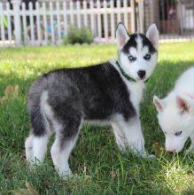 Siberian Husky Puppies available