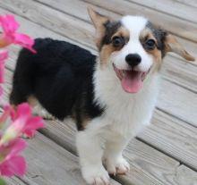 Pembroke Welsh Corgi Pups CKc Registered!!!