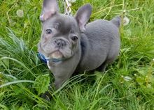 Amazing French Bulldog Puppies Ready For Sale -Text now (204) 817-5731