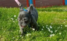 Fantastic and Healthy French Bulldog Puppies Ready For Sale -Text now (204) 817-5731