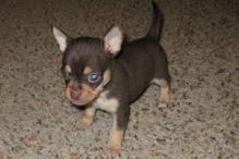 Adorable Chihuahua Puppies(lindsayurbin@gmail.com)