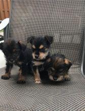 beautiful litter of 7 Chihuahua pups.