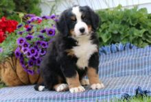 Cuddly Bernese Mountain Dog Puppies For Good Homes-Text now (204) 817-5731