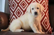 Charming Labrador Retriever Puppies For Sale-Text now (204) 817-5731