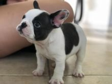 French bulldog and is the Best house dogs...great health clean playful