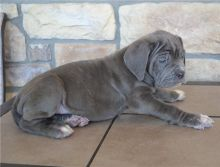 Home Trained Neapolitan Mastiff Pups For Good Homes-Text now (204) 817-5731