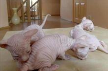 Beautiful Sphynx Kittens available