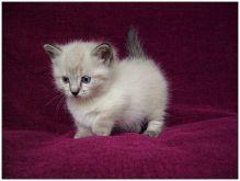 Munchkin Kittens available