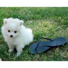 Pomeranian Puppies available ✔ ✔ ✔ Email at ⇛⇛ ( marcbradly1975@gmail.com )