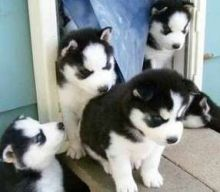 Siberian Husky Puppies ✔ ✔ ✔ Email at ⇛⇛ ( marcbradly1975@gmail.com )