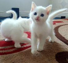Turkish angora kittens for sale