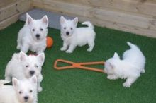 West Highland White Terrier puppies available ✔ ✔ ✔ Email at ⇛⇛ ( marcbradly1975@gmail.com