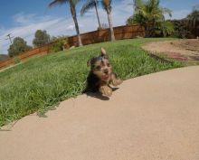 Tiny Adorable Baby Yorkie Puppies Image eClassifieds4u 1