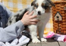 Charming Australian Shepherd puppies for sale
