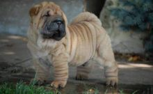 Magnificent Chinese Shar-Pei Puppies For Sale