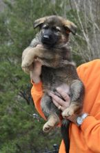 Quality German Shepherd puppies for sale.