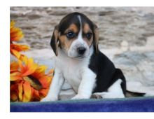 seeking a great home for my Beagle Puppies For Sale