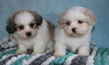 We have vet checked Lhasa Apso Puppies For Sale
