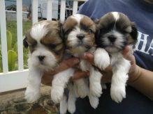 Adorable tiny Shih Tzu puppies