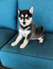 Alaskan Klee Kai puppies ✔ ✔ ✔ Email at ⇛⇛ ( marcbradly1975@gmail.com )