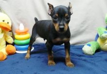 Miniature Pinscher puppies ✔ ✔ ✔ Email at ⇛⇛ ( marcbradly1975@gmail.com )