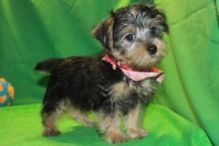 Morkie puppies ✔ ✔ ✔ Email at ⇛⇛ ( marcbradly1975@gmail.com )