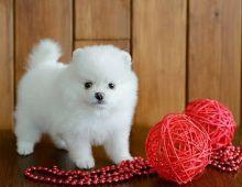 Sweet & Adorable Pomeranian up for adoption