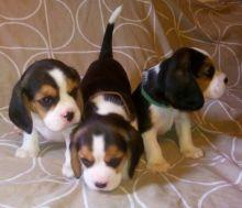 Tri-Color Beagle Puppies For Sale
