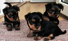 Yorkie puppies ✔ ✔ ✔ Email at ⇛⇛ ( marcbradly1975@gmail.com )