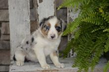 Australian Shepherd Puppies Image eClassifieds4U